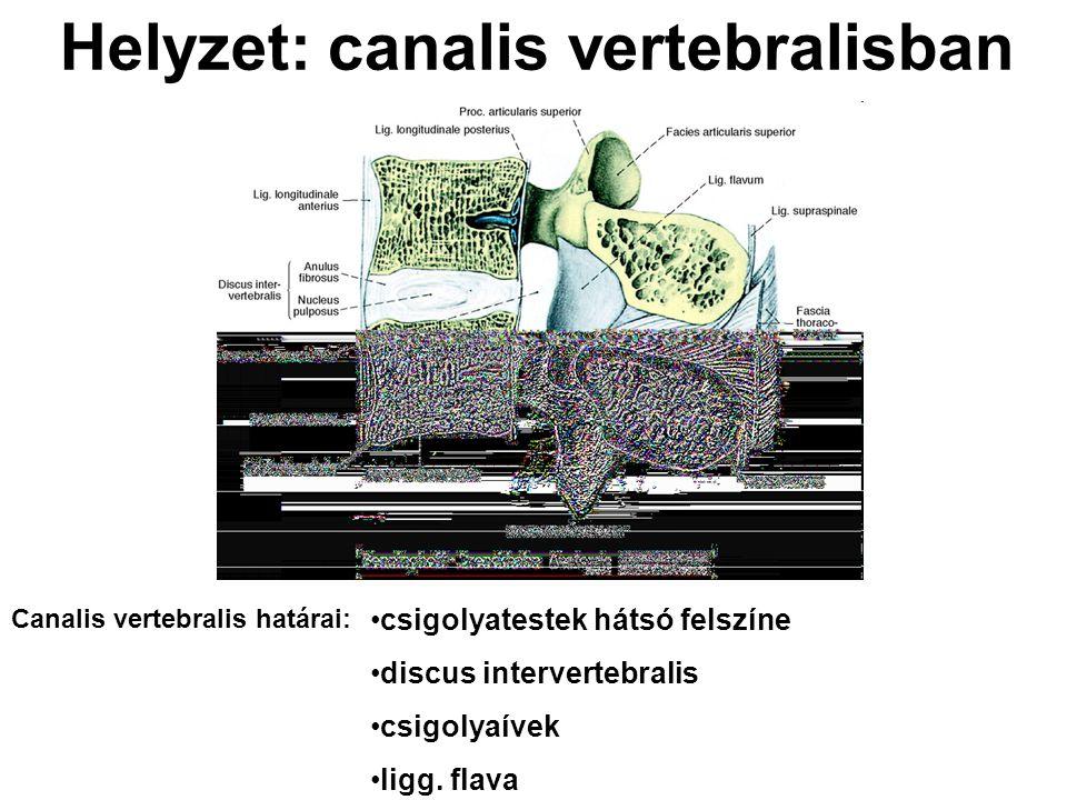 Helyzet: canalis vertebralisban csigolyatestek hátsó felszíne discus intervertebralis csigolyaívek ligg. flava Canalis vertebralis határai: