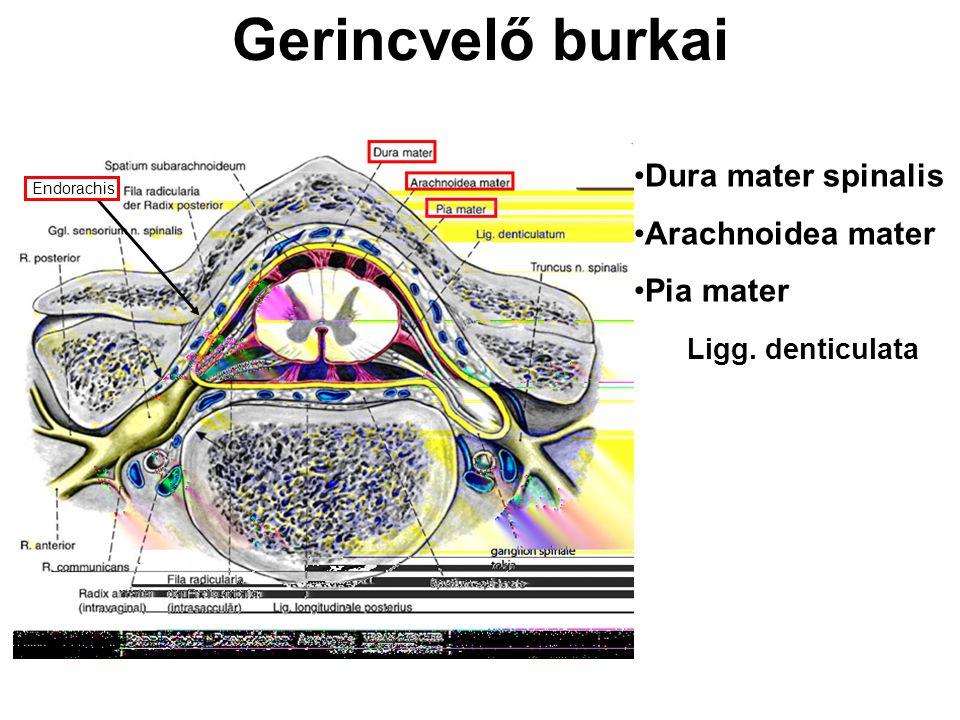 Gerincvelő burkai Dura mater spinalis Arachnoidea mater Pia mater Ligg. denticulata Endorachis