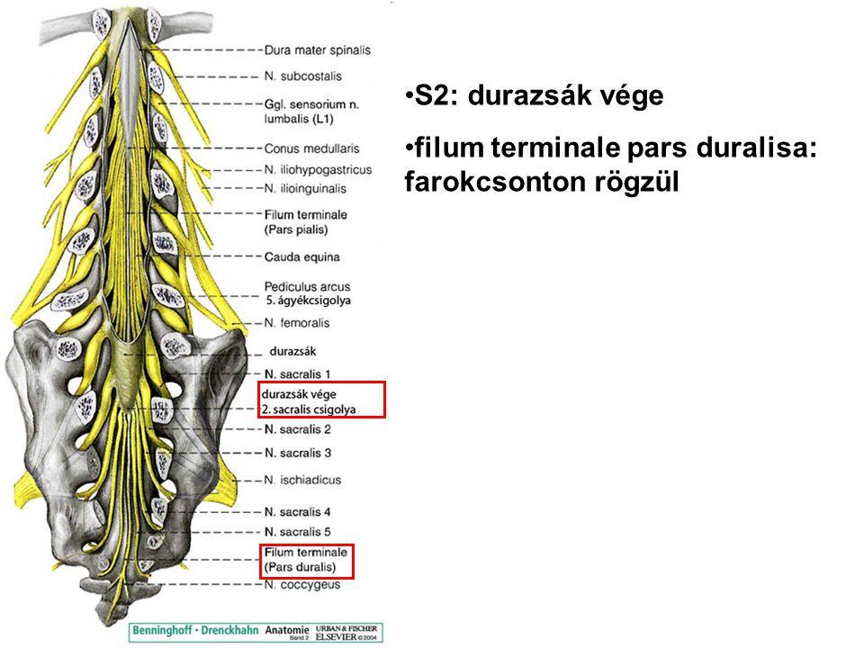 S2: durazsák vége filum terminale pars duralisa: farokcsonton rögzül
