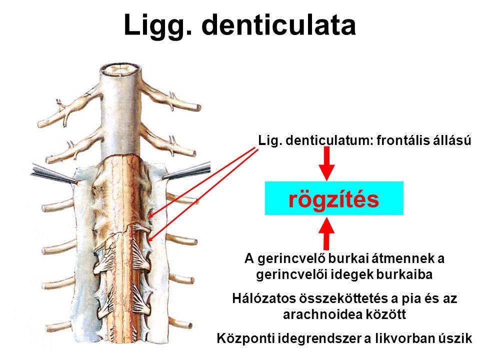 Ligg. denticulata Lig. denticulatum: frontális állású A gerincvelő burkai átmennek a gerincvelői idegek burkaiba Hálózatos összeköttetés a pia és az a