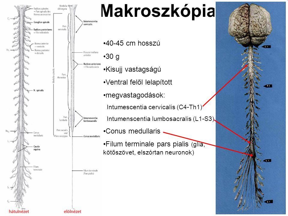 Makroszkópia 40-45 cm hosszú 30 g Kisujj vastagságú Ventral felől lelapított megvastagodások: Intumescentia cervicalis (C4-Th1) Intumenscentia lumbosacralis (L1-S3) Conus medullaris Filum terminale pars pialis (glia, kötőszövet, elszórtan neuronok)
