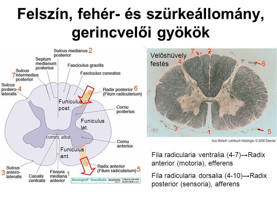 Felszín, fehér- és szürkeállomány, gerincvelői gyökök 1 2 3 4 5 6 7 4 Fila radicularia ventralia (4-7)→Radix anterior (motoria), efferens Fila radicularia dorsalia (4-10)→Radix posterior (sensoria), afferens 1 2 3 4 5 6 7 Velőshüvely festés Funiculus lat.