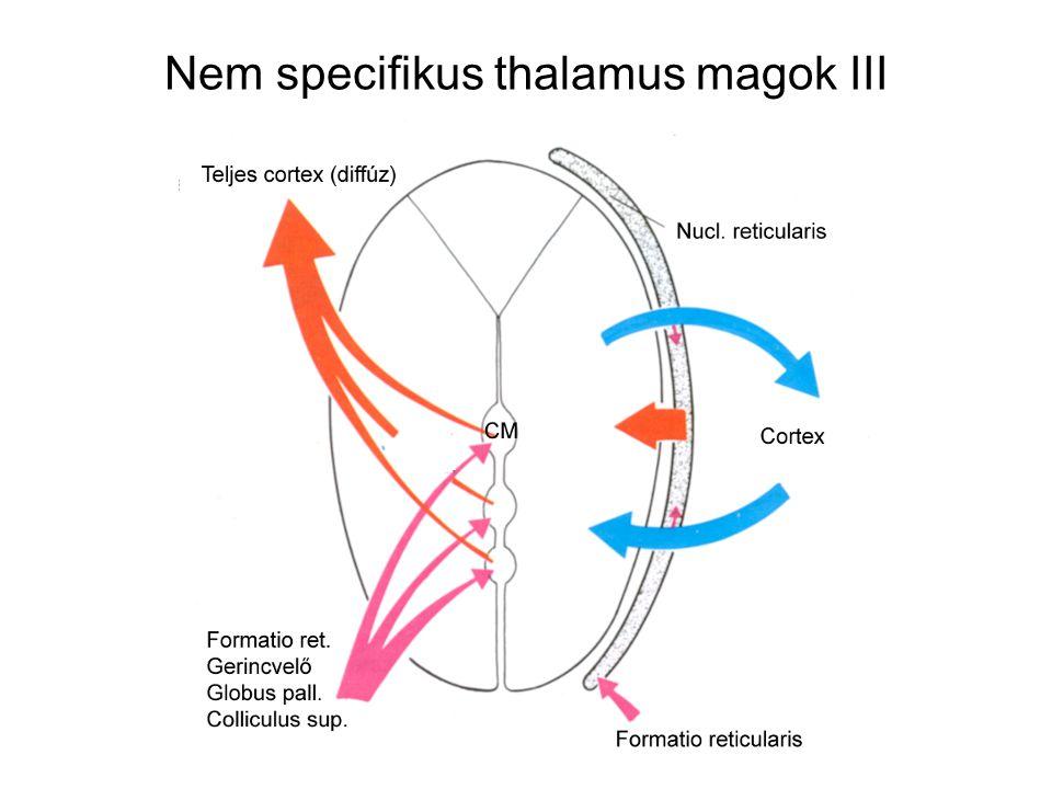 Nem specifikus thalamus magok III