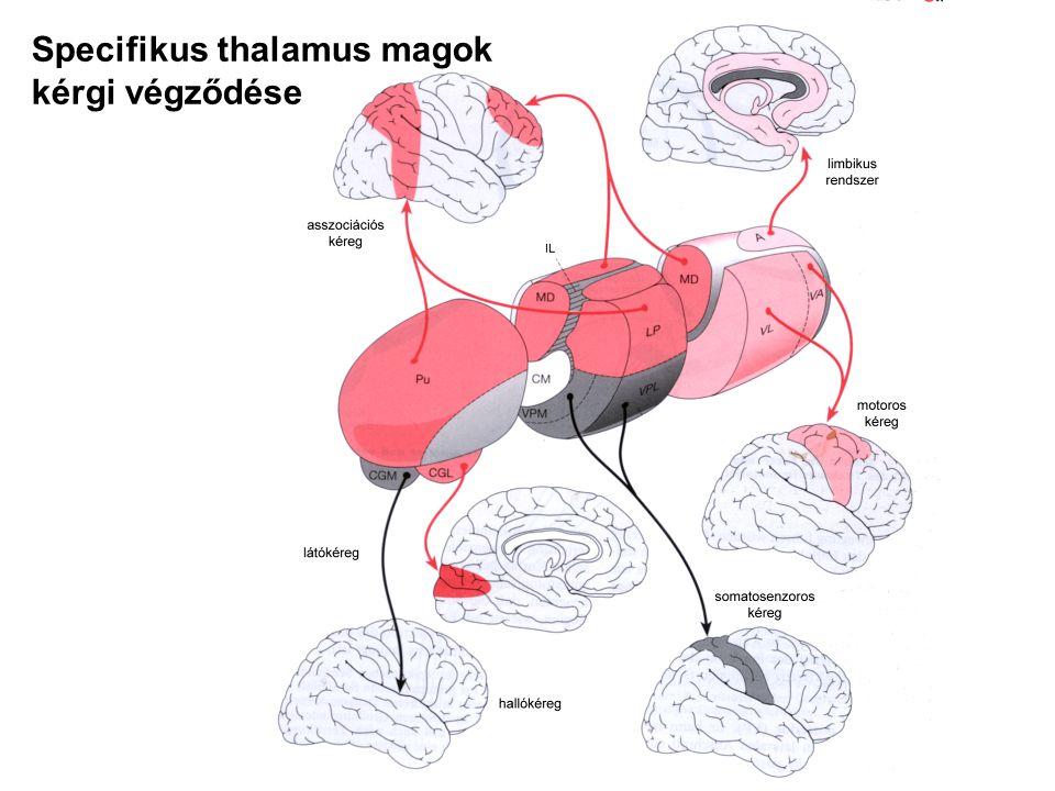 Specifikus thalamus magok kérgi végződése