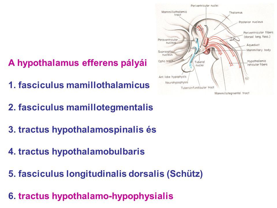 A hypothalamus efferens pályái 1. fasciculus mamillothalamicus 2. fasciculus mamillotegmentalis 3. tractus hypothalamospinalis és 4. tractus hypothala
