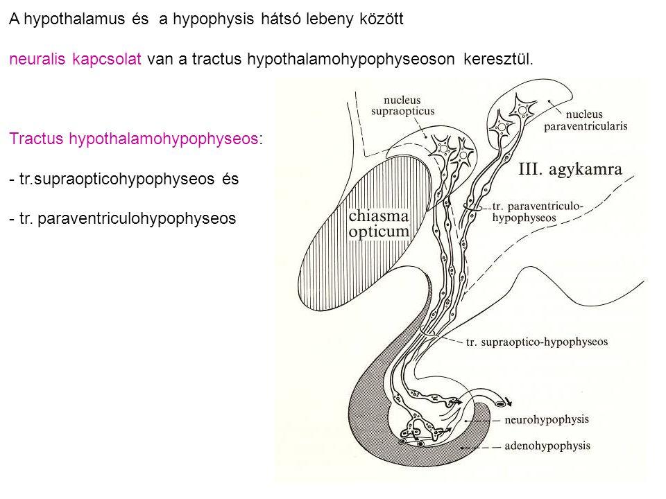 A hypothalamus és a hypophysis hátsó lebeny között neuralis kapcsolat van a tractus hypothalamohypophyseoson keresztül. Tractus hypothalamohypophyseos