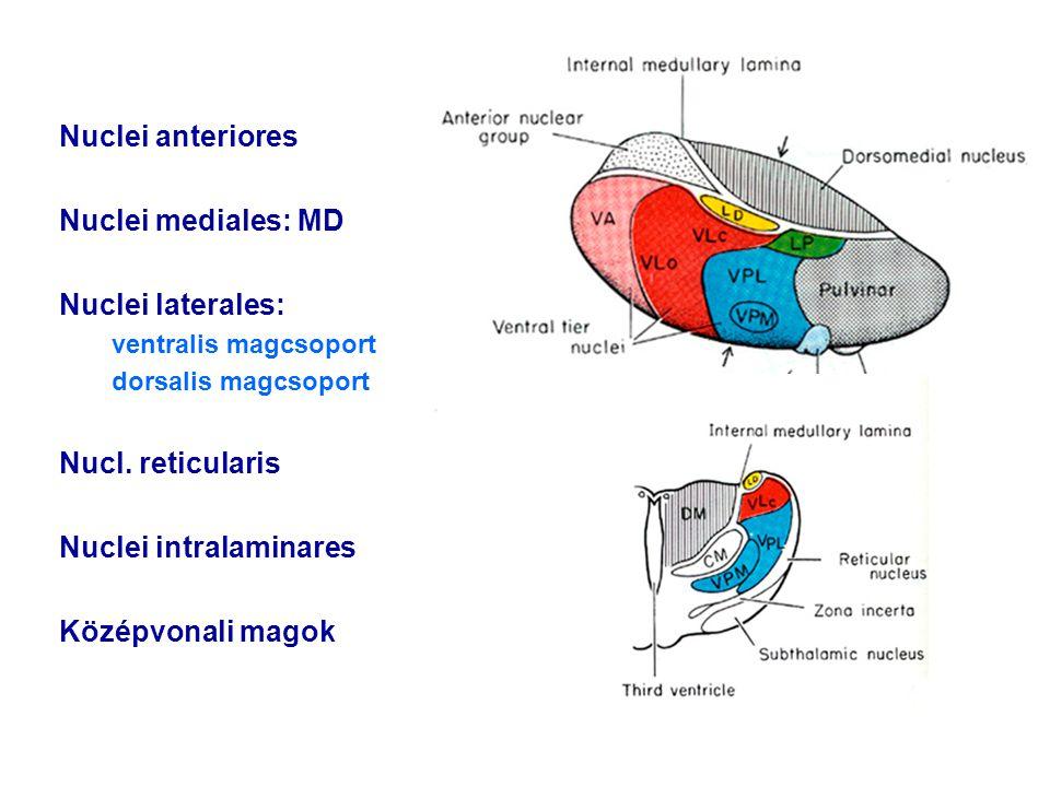 Nuclei anteriores Nuclei mediales: MD Nuclei laterales: ventralis magcsoport dorsalis magcsoport Nucl. reticularis Nuclei intralaminares Középvonali m