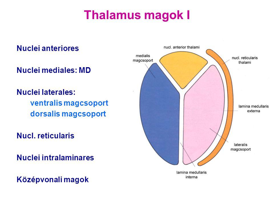 Thalamus magok I Nuclei anteriores Nuclei mediales: MD Nuclei laterales: ventralis magcsoport dorsalis magcsoport Nucl. reticularis Nuclei intralamina