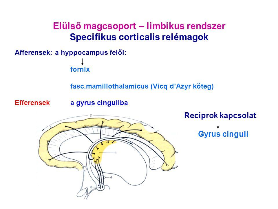 Elülső magcsoport – limbikus rendszer Specifikus corticalis relémagok Reciprok kapcsolat: Gyrus cinguli Afferensek: a hyppocampus felől: fornix fasc.m