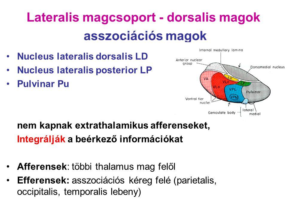 Lateralis magcsoport - dorsalis magok asszociációs magok Nucleus lateralis dorsalis LD Nucleus lateralis posterior LP Pulvinar Pu nem kapnak extrathal