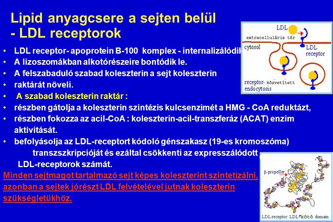19. dia Lipid anyagcsere a sejten belül - LDL receptorok LDL receptor- apoprotein B-100 komplex - internalizálódik. A lizoszomákban alkotórészeire bon