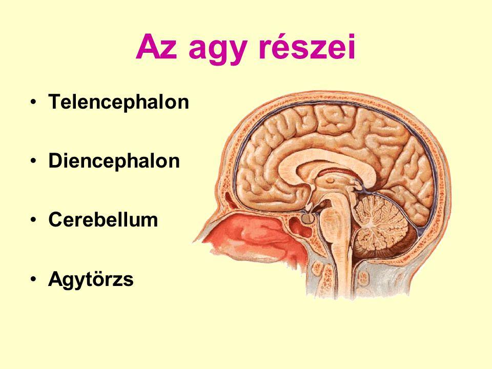 Az agytörzs részei Mesencephalon Pons Medulla