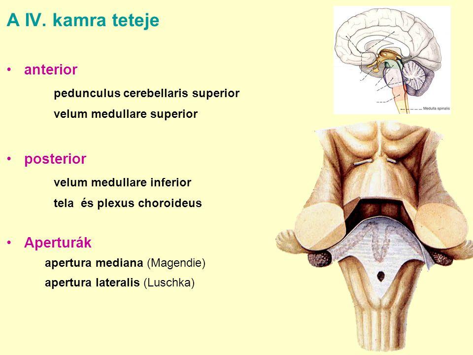 A IV. kamra teteje anterior pedunculus cerebellaris superior velum medullare superior posterior velum medullare inferior tela és plexus choroideus Ape