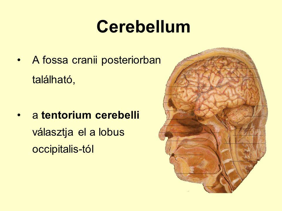 Cerebellum A fossa cranii posteriorban található, a tentorium cerebelli választja el a lobus occipitalis-tól