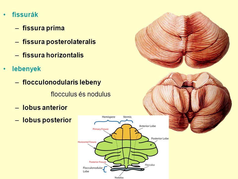 fissurák –fissura prima –fissura posterolateralis –fissura horizontalis lebenyek –flocculonodularis lebeny flocculus és nodulus –lobus anterior –lobus