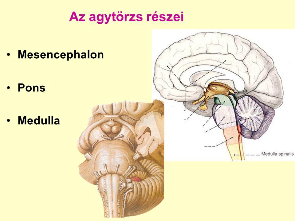 Pons Ventralis felszín sulcus basilaris sulcus pontomedullaris : n.VI.,VII.,n.