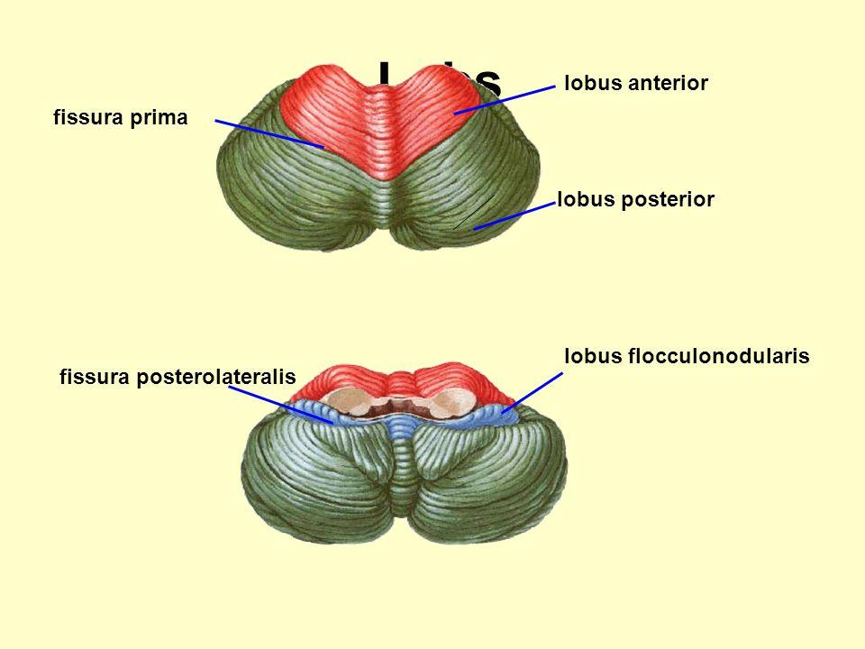 Lobs fissura prima fissura posterolateralis lobus flocculonodularis lobus anterior lobus posterior