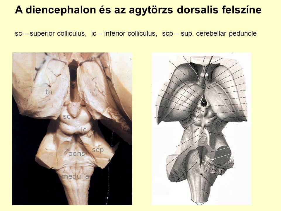 A diencephalon és az agytörzs dorsalis felszíne sc – superior colliculus, ic – inferior colliculus, scp – sup. cerebellar peduncle sc ic scp pons medu