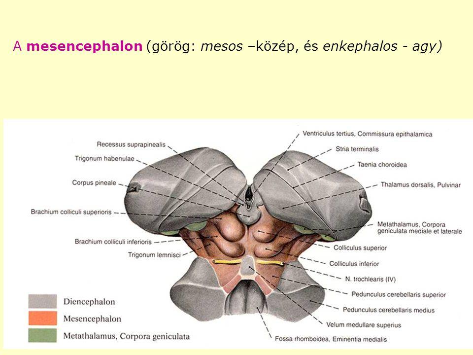 A mesencephalon részei - tectumtectum colliculus inferior colliculus superior - pedunculus cerebri tegmentum crus cerebri