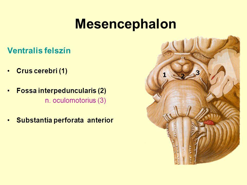 Mesencephalon Ventralis felszín Crus cerebri (1) Fossa interpeduncularis (2) n. oculomotorius (3) Substantia perforata anterior 1 2 3
