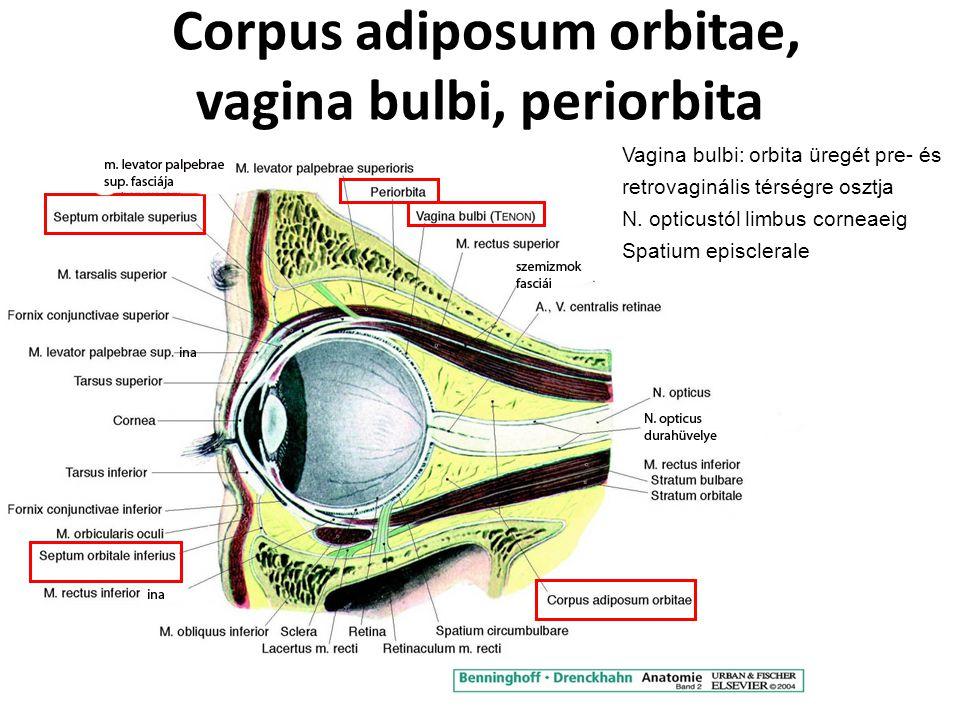 Corpus adiposum orbitae, vagina bulbi, periorbita Vagina bulbi: orbita üregét pre- és retrovaginális térségre osztja N. opticustól limbus corneaeig Sp