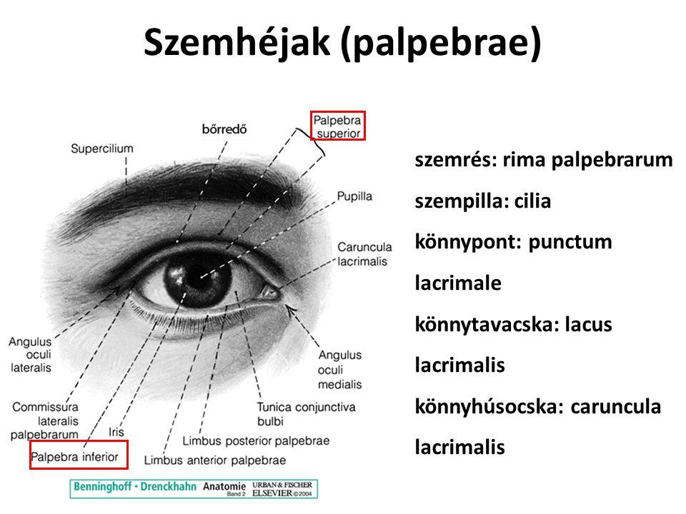 Szemhéjak (palpebrae) szemrés: rima palpebrarum szempilla: cilia könnypont: punctum lacrimale könnytavacska: lacus lacrimalis könnyhúsocska: caruncula