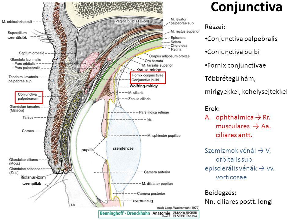 Conjunctiva Részei: Conjunctiva palpebralis Conjunctiva bulbi Fornix conjunctivae Többrétegű hám, mirigyekkel, kehelysejtekkel Erek: A.ophthalmica → Rr.