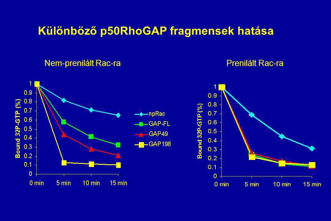 Különböző p50RhoGAP fragmensek hatása Nem-prenilált Rac-raPrenilált Rac-ra