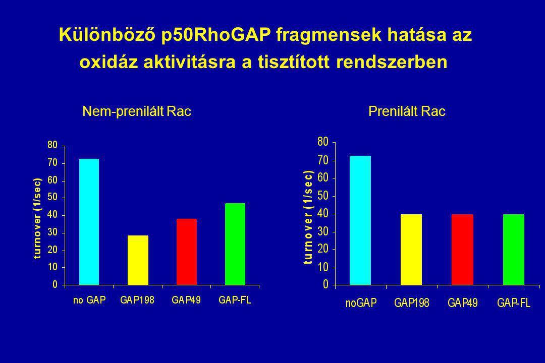 Különböző p50RhoGAP fragmensek hatása az oxidáz aktivitásra a tisztított rendszerben Nem-prenilált RacPrenilált Rac