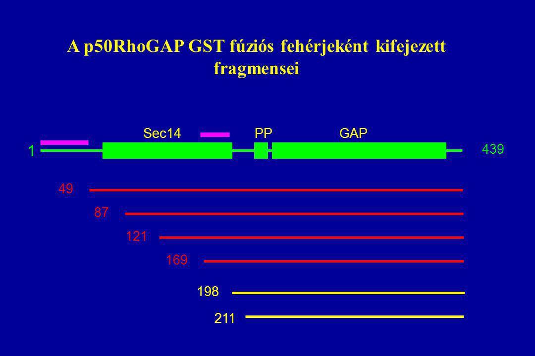 A p50RhoGAP GST fúziós fehérjeként kifejezett fragmensei 1 439 49 87 121 169 198 211 Sec14GAPPP