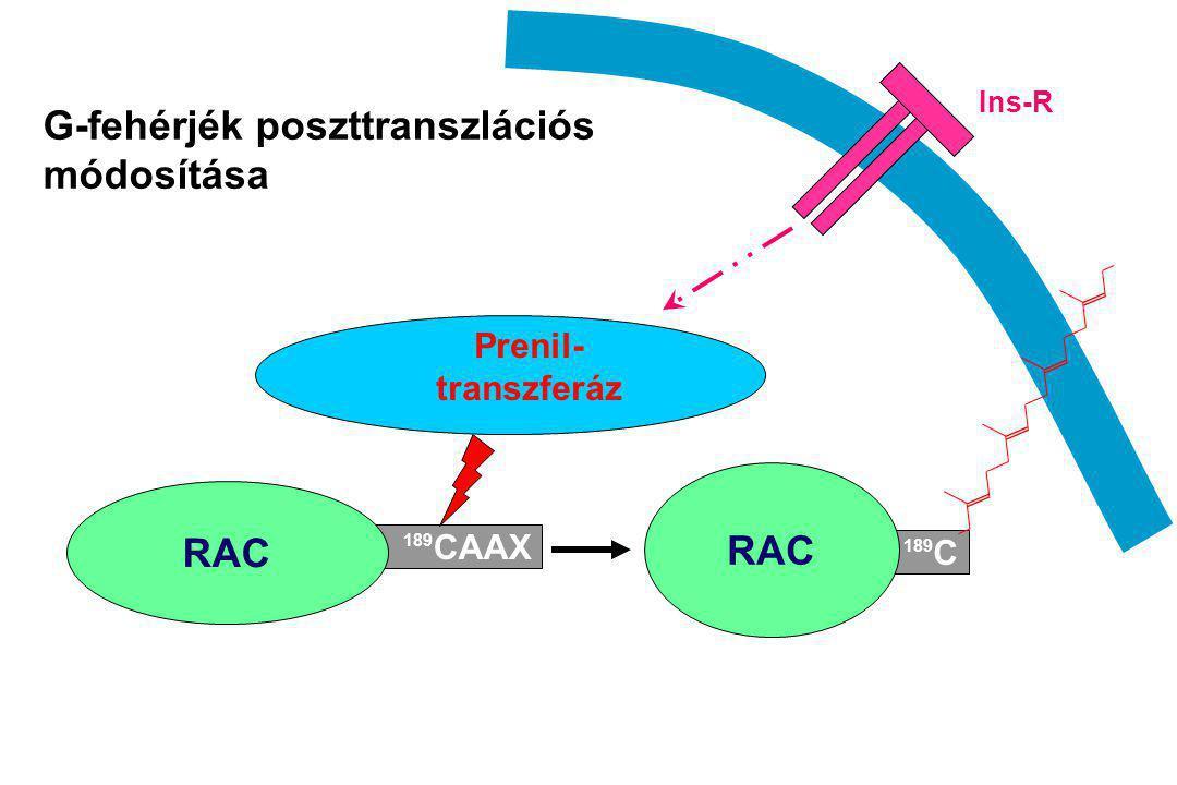 189 CAAX RAC 189 C RAC Prenil- transzferáz G-fehérjék poszttranszlációs módosítása Ins-R