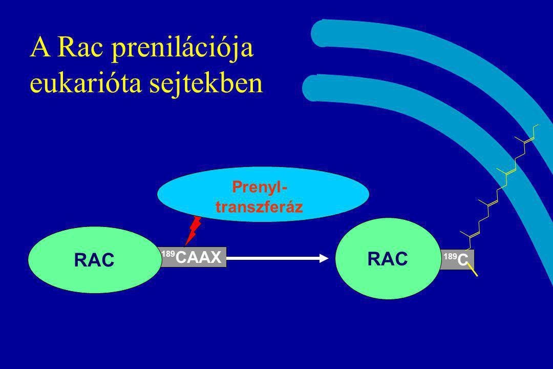 A Rac prenilációja eukarióta sejtekben 189 CAAX RAC 189 C RAC Prenyl- transzferáz