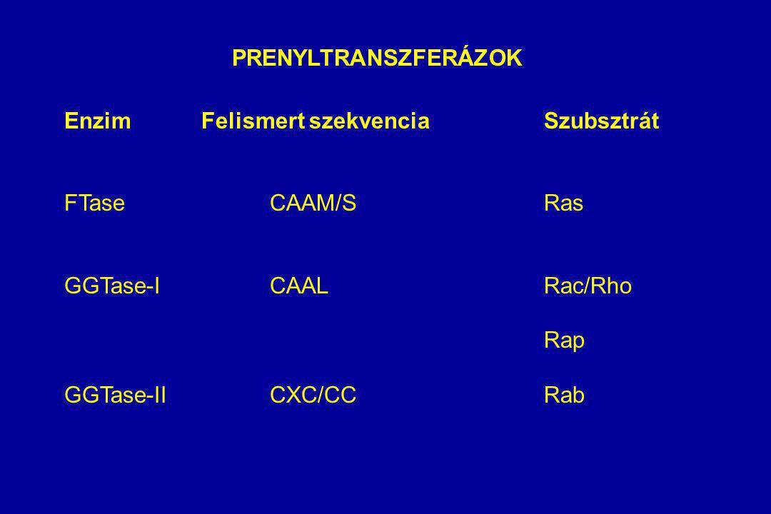 PRENYLTRANSZFERÁZOK EnzimFelismert szekvenciaSzubsztrát FTaseCAAM/SRas GGTase-ICAALRac/Rho Rap GGTase-IICXC/CCRab