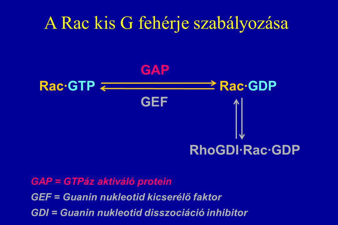GAP Rac·GTP Rac·GDP GEF RhoGDI·Rac·GDP A Rac kis G fehérje szabályozása GAP = GTPáz aktiváló protein GEF = Guanin nukleotid kicserélő faktor GDI = Guanin nukleotid disszociáció inhibitor