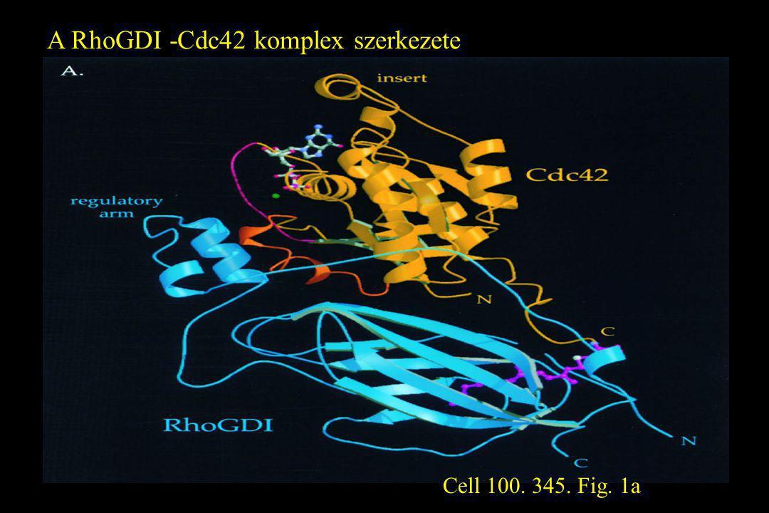 A RhoGDI -Cdc42 komplex szerkezete Cell 100. 345. Fig. 1a