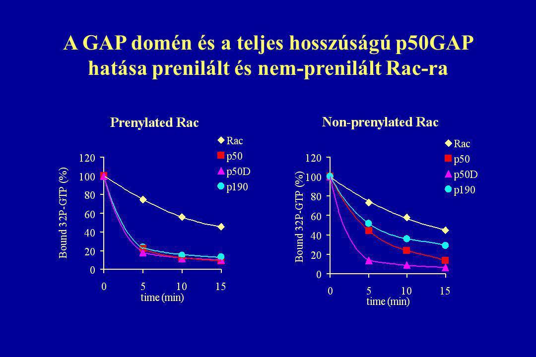 A GAP domén és a teljes hosszúságú p50GAP hatása prenilált és nem-prenilált Rac-ra