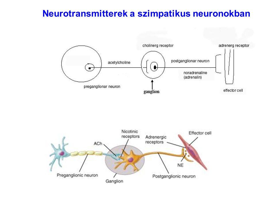 Neurotransmitterek a szimpatikus neuronokban