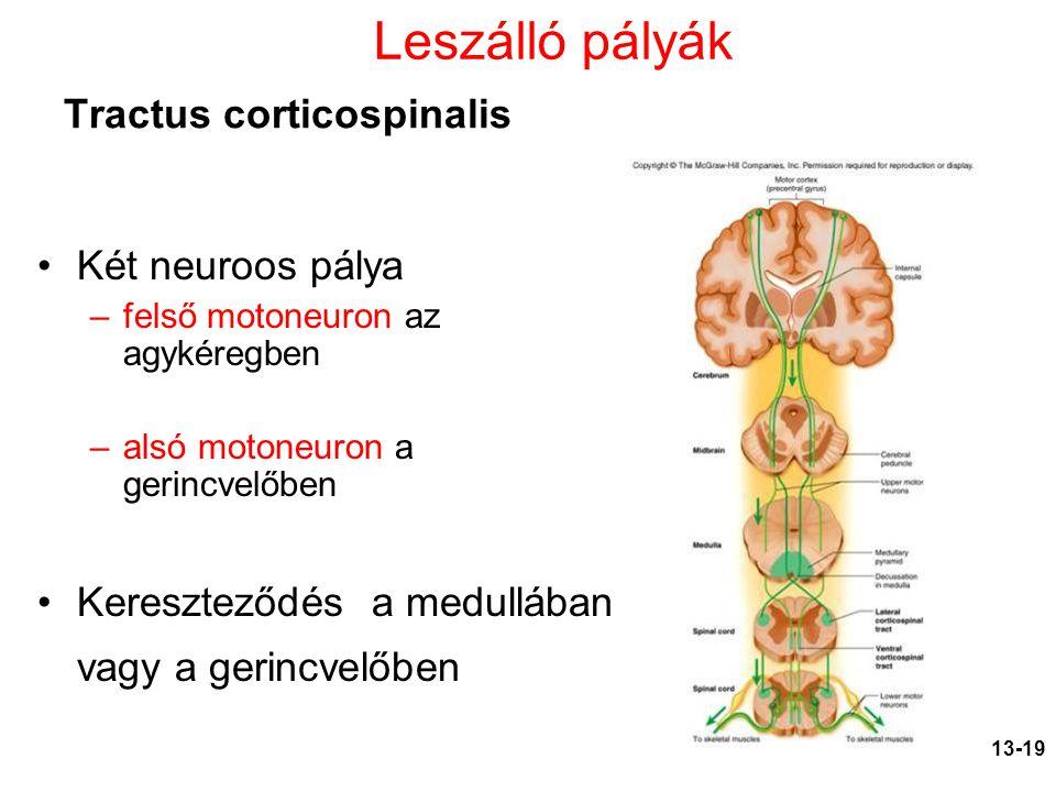 13-19 Két neuroos pálya –felső motoneuron az agykéregben –alsó motoneuron a gerincvelőben Kereszteződés a medullában vagy a gerincvelőben Tractus cort