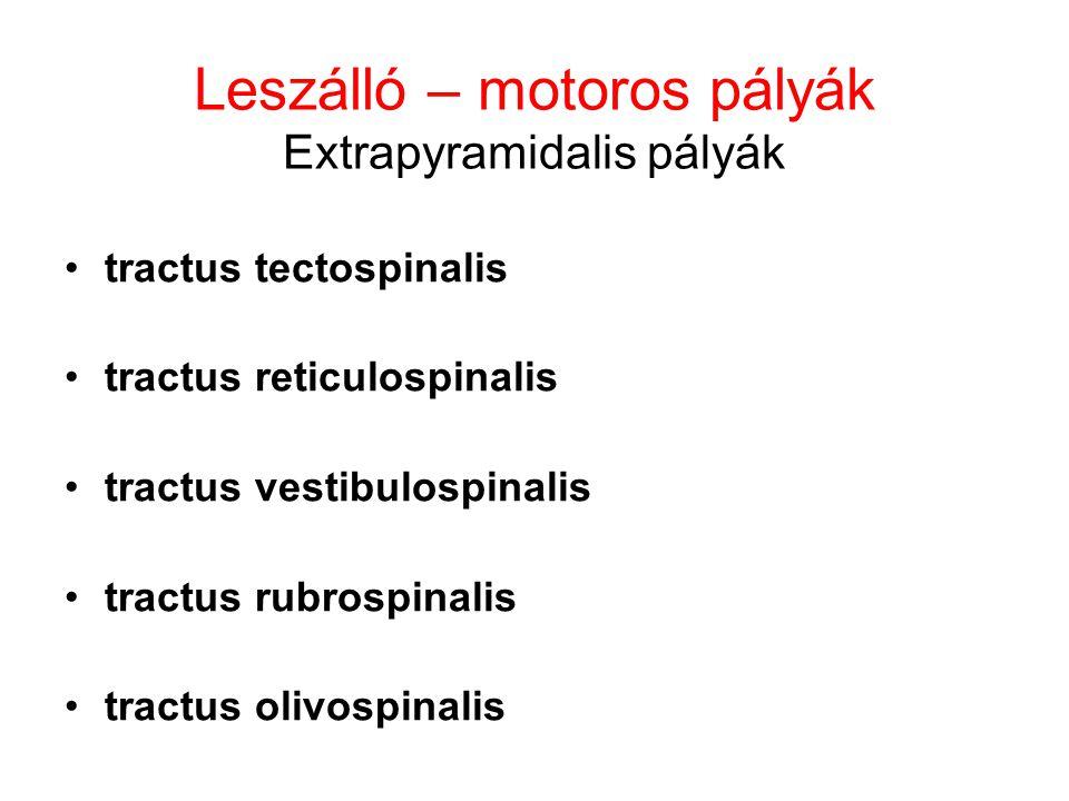 Leszálló – motoros pályák Extrapyramidalis pályák tractus tectospinalis tractus reticulospinalis tractus vestibulospinalis tractus rubrospinalis tract