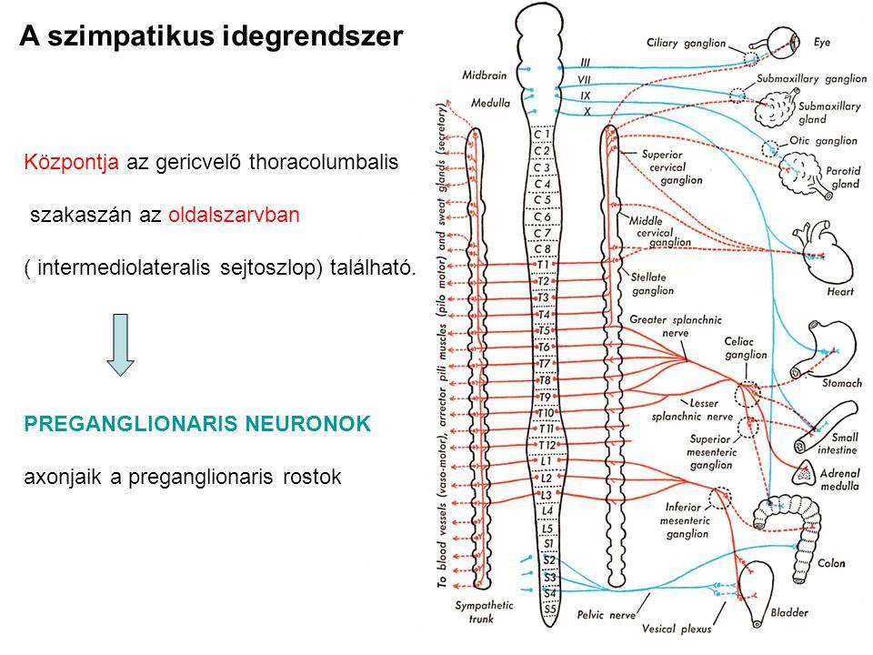 A vegetatív vagy visceralis reflex A reflexív részei : - afferens rész: - érző receptor - érző neuron (ganglion spinale) - integráló központ : hátsó szarvban található neuronok - efferens rész - preganglionaris neuron és rost - postganglionaris neuron és rost ganglion pre vagy paravertebrale - visceralis effector