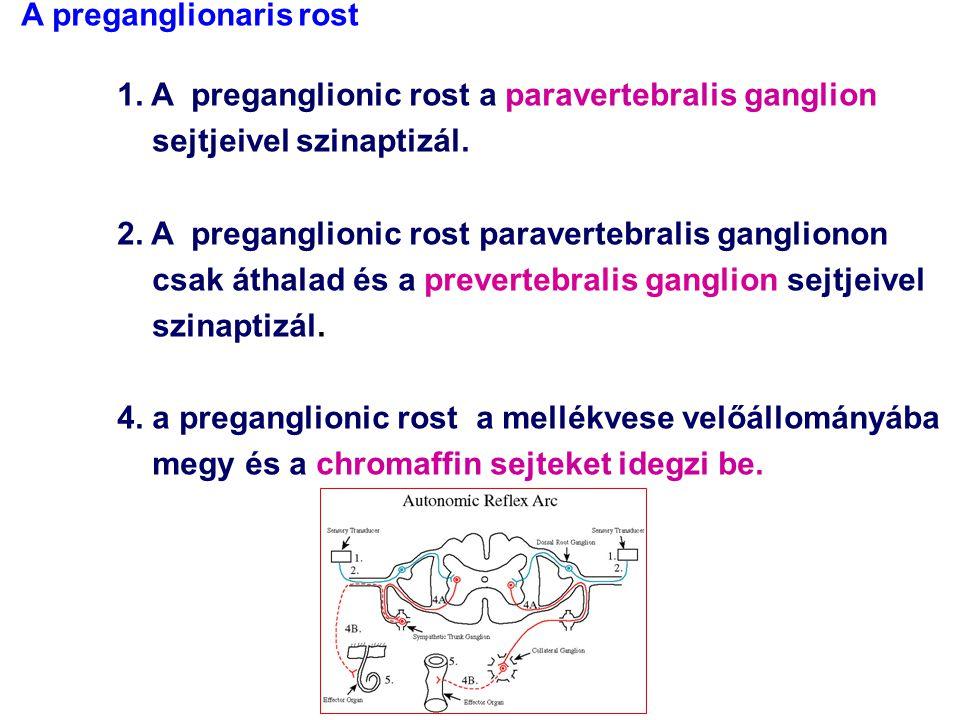 IML 3.r. communicans albus 5. r. communicans griseus Th-L szimpatikus – paravertebralis ggl.