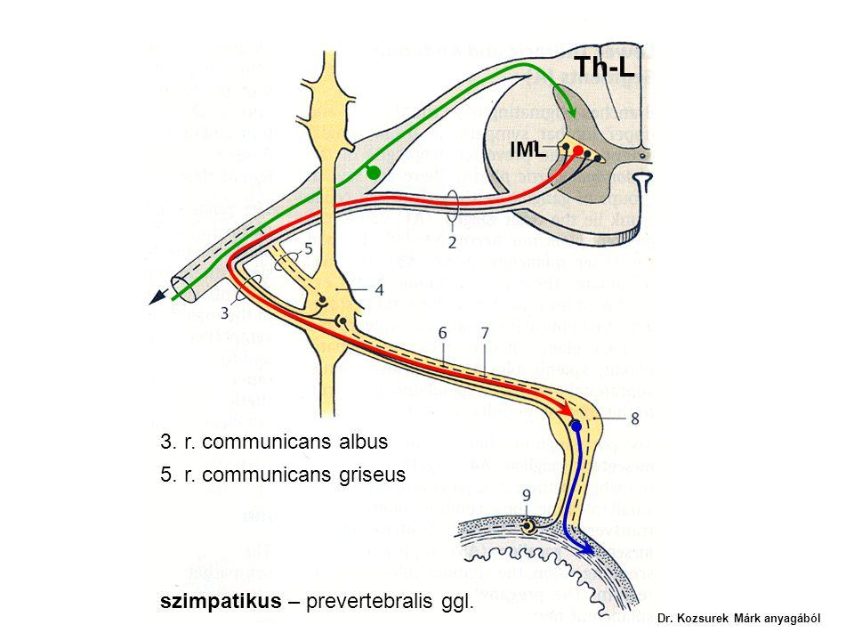 IML 3. r. communicans albus 5. r. communicans griseus szimpatikus – prevertebralis ggl. Th-L Dr. Kozsurek Márk anyagából