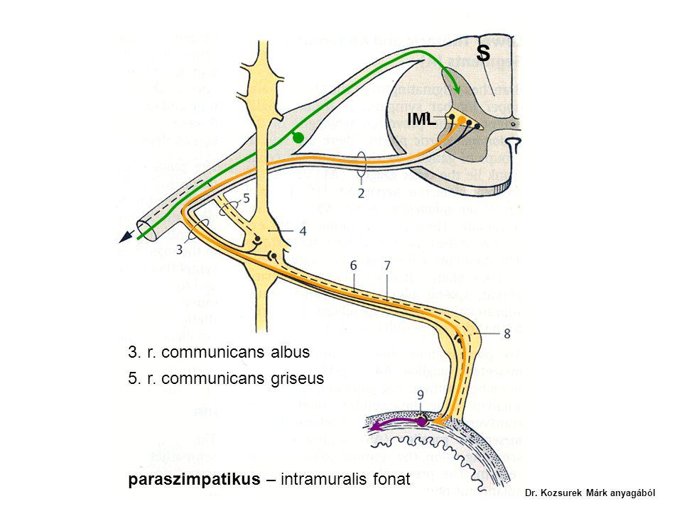 IML 3. r. communicans albus 5. r. communicans griseus S paraszimpatikus – intramuralis fonat Dr. Kozsurek Márk anyagából