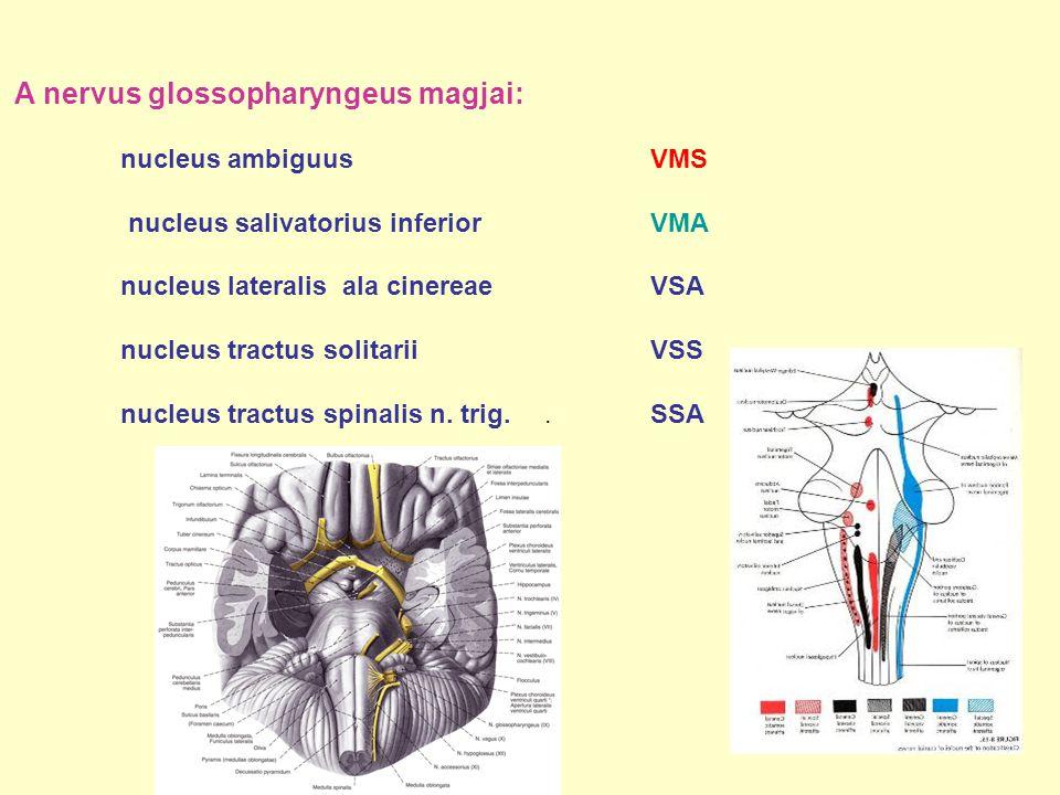 A nervus glossopharyngeus magjai: nucleus ambiguus VMS nucleus salivatorius inferior VMA nucleus lateralis ala cinereaeVSA nucleus tractus solitarii V