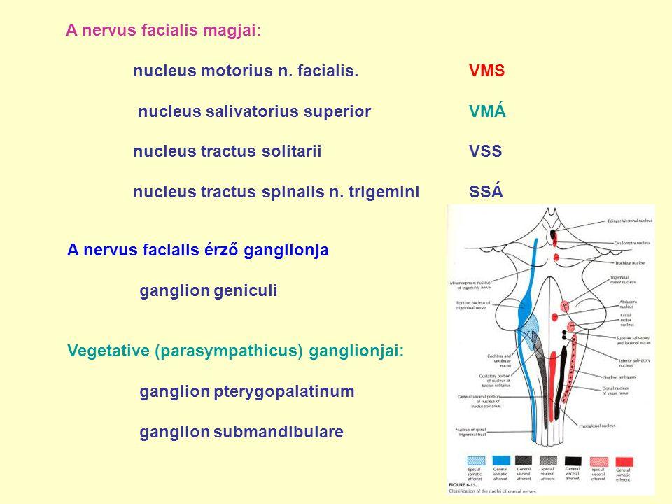 A nervus facialis magjai: nucleus motorius n. facialis.VMS nucleus salivatorius superior VMÁ nucleus tractus solitarii VSS nucleus tractus spinalis n.