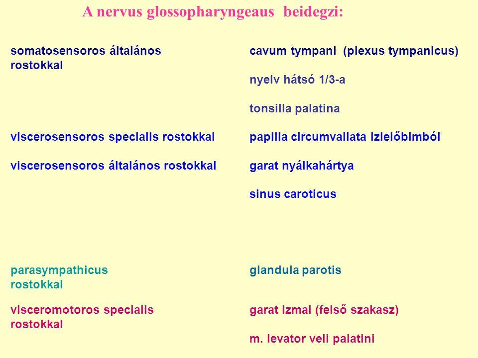 A nervus glossopharyngeaus beidegzi: somatosensoros általánoscavum tympani (plexus tympanicus) rostokkal nyelv hátsó 1/3-a tonsilla palatina viscerosensoros specialis rostokkalpapilla circumvallata izlelőbimbói viscerosensoros általános rostokkalgarat nyálkahártya sinus caroticus visceromotoros specialis garat izmai (felső szakasz) rostokkal m.