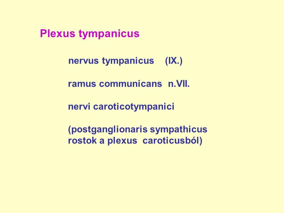 Plexus tympanicus nervus tympanicus (IX.) ramus communicans n.VII. nervi caroticotympanici (postganglionaris sympathicus rostok a plexus caroticusból)
