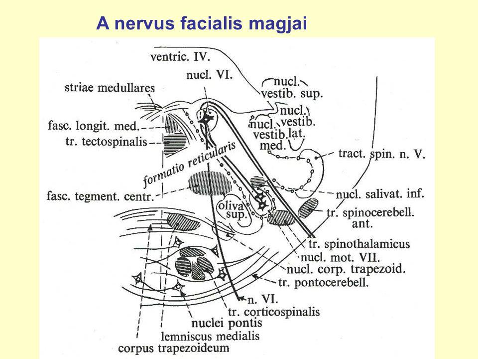 A nervus facialis magjai