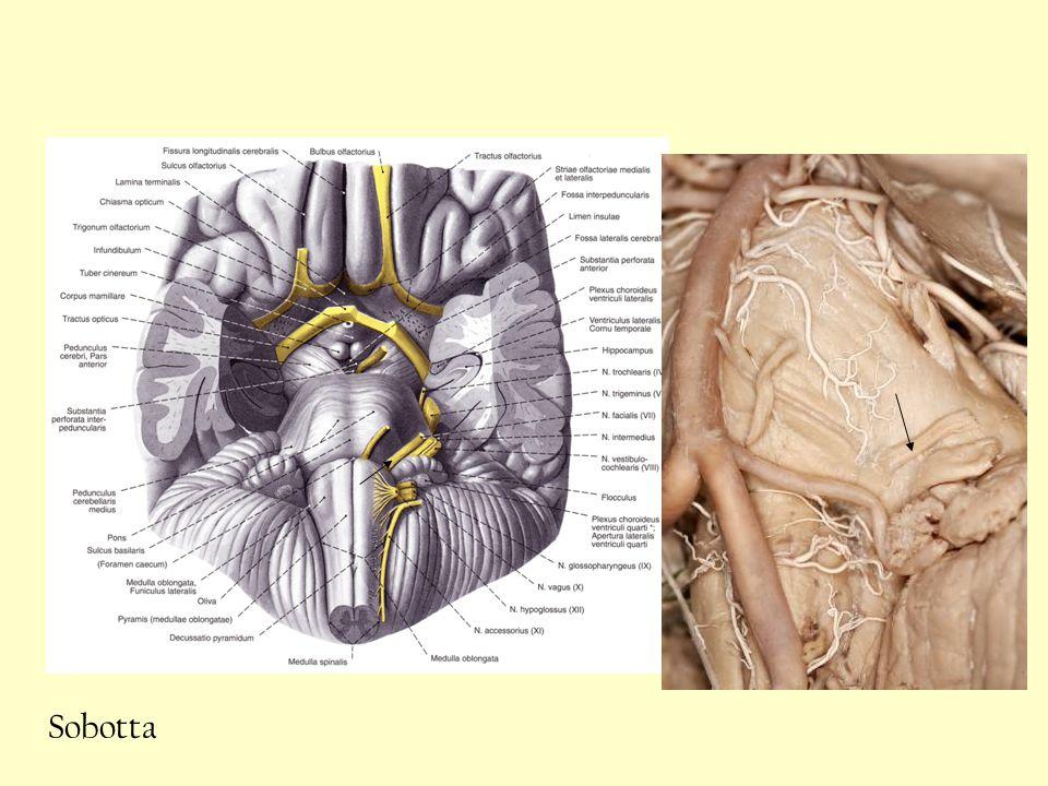 A nervus facialis beidegzi: általános somatosensorosmeatus acusticus externus viscerosensoros specialis a nyelv elülső 2/3-át (ízérző) rostokkal visceromotoros special m.