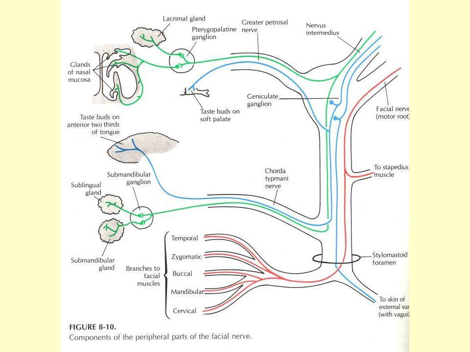 Extracranialis ágak: - nervus auricularis posterior - ramus communicans cum n.
